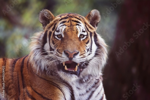 Tela tiger in the zoo