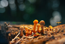 Close-up Of A Group Of Mushrooms Growing On Dry Hemp And Dark Forest Background In Sunlight.