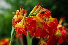 Red And Yellow Canna Flower