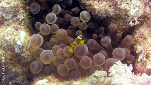 Fotografija red sea anemone