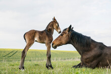 Beautiful Brown Horse Mare And Foal In Spring Field