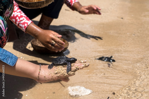 Obraz na plátne Close up of children hands holding small baby turtles hatchling ready for releas