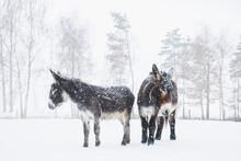 Donkeys Standing In Snowy Field