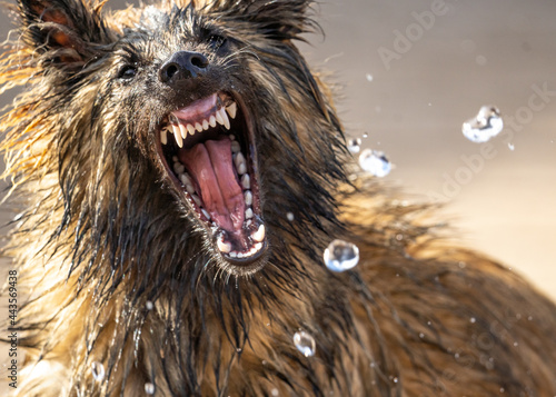 Alsatian puppy dog German Shepherd looking ferocious bearing teeth trying to attack water from hose pipe Fototapet