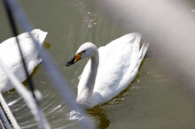 White Swans Swim In A Pond On A Summer Day