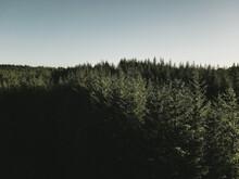 Pine Forest, Retro Edit. Location: Loch Humphrey, Scotland, U.K.