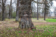 An Old Willow Tree With A Thick, Sturdy Trunk. Thick Willow Trunk In Spring