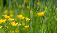 Yellow Celandine Swallowwort Flower On A Green Summer Meadow. Chelidonium Majus.