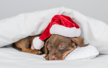 Tiny Dachshund Puppy Wearing Red Santa Hat Sleeps On Pillow Under Warm Blanket On A Bed At Home