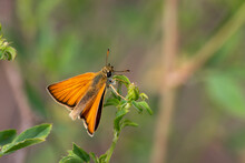Thymelicus Sylvestris Sit On The Grass, Summer And Spring Scene.  Small Skipper Orange Butterfly