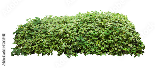 Fotografering Tropical plant flower bush tree isolated on white background with clipping path