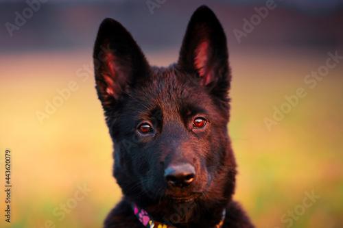 Valokuvatapetti Portrait of dog, German shepherd