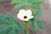 Flowering Okra, Or Abelmoschus Esculentus - Tropical Plant In The Malvaceae Family Close-up