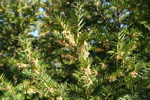 A Lot Of Male Cones On Branches Of European Yew In Mid March