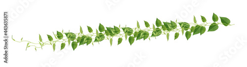 Fotografiet Heart shaped green leaves climbing vines ivy of cowslip creeper (Telosma cordata) the creeper forest plant growing in wild isolated on white background, clipping path included