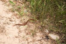 Copper Colored Viper Crawling In The Grass.