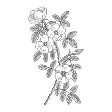 Vector Drawing Branch Of Sweet Brier, Dog Rose With Flowers And Leaves, Hand Drawn Vintage Illustration