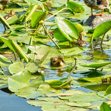 Portrait Of Little Duck On The Lake With Water Lilies