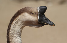 Portrait Of A Swan Goose From Profile