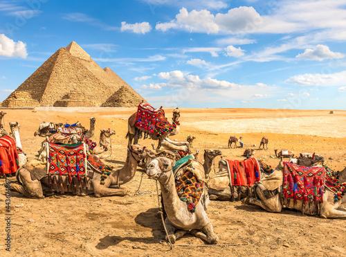Canvastavla Curious camel and pyramids