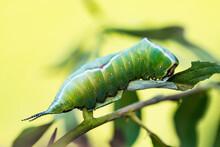 Cerura Vinula Or Puss Moth Caterpillar On Green Background Macro