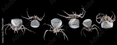 Fotografiet Set withe crab spider with pink-spotted Misumena vatia isolated on black backgro