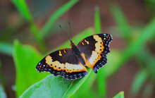 Gaudy Commodore Or Precis Octavia Butterfly In Zambia Bushes South African Region Africa