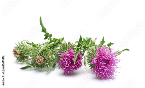 Canvastavla Pink burdock flowers with stem and leaves isolated on white background