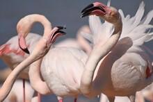 Quarrel Between Two Flamingos Close-up