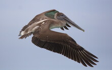 Extreme Closeup Of Galapagos Brown Pelican (Pelecanus Occidentalis Urinator) Flying With Wings Spread Open