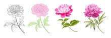 Set Of Differents Peony On White Background. Watercolor, Line Art, Outline Illustration.