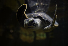 Sea Turtle Swims In Dark Water At The Bottom Of The Ocean