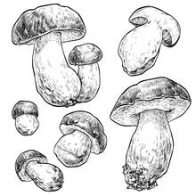 Mushrooms Boletus Set. Vector Illustration Of Mushrooms On White Background. Hand Drawn Style