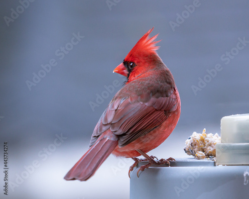 male northern cardinal on a lamp Fototapet