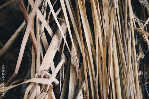 Fototapeta Close up of dried vetiver leaves background or texture