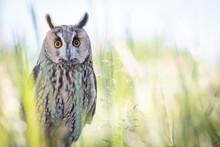 Long Eared Owl Watching