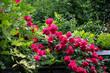 ogród różany, róże, pnącza, roślinność, róże zwisające, natura , przyroda