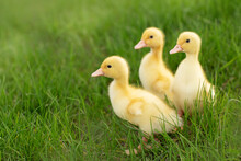 Ducklings In The Grass