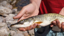 Pike Caught On The Coast Of Lake Baikal By A Young Man. A Fisherman Shows A Catch