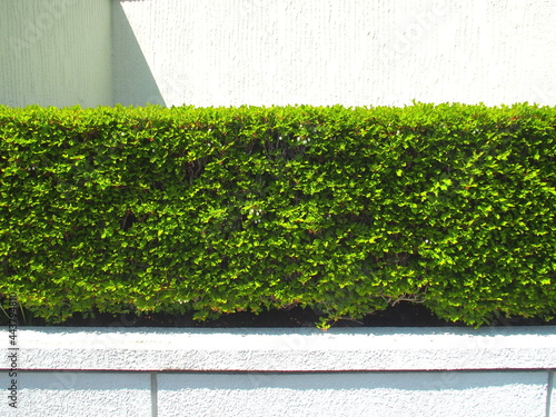 Murais de parede 4月の朝の植え込みのドウダンツツジと白壁