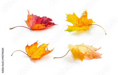 Fototapeta Set of four dry colorful natural swirling autumn maple leaves  in yellow, orange, burgundy colors on white background with light shadow, side view