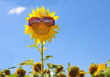 Tall Smiling Sunflower With Sunglasses On Summer Blue Sky Background As Concept Good Mood Of Healthy Lifestyle For Positive Advertising Banner, Poster, Label, Greeting Card, Invitation, Etc.