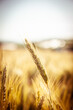 canvas print picture - Getreide in der Sonne