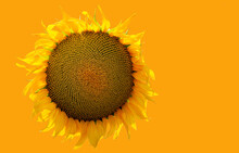 Sunflower Head Isolated On Positive Yellow Orange Background As Concept Of Healthy Lifestyle And Proper Nutrition For  Promotional Banner Or Label, Greeting Card, Invitation, Sticker, Etc.