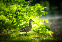 Female Mallard Duck Profile While Standing On Grass During A Later Summer Afternoon