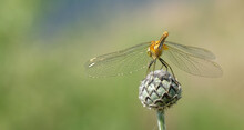 An Orange Dragonfly Sits On A Bud. Blurred Background.