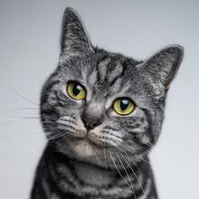 British Shorthair Silver Tabby Cat Portrait Cute Closeup Portrait