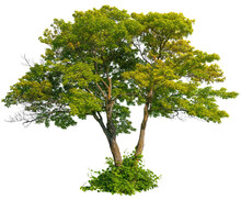 Cut Out Green Tree. Majestic Maple. Green Tree Isolated On White Background. Cutout Deciduous Tree In Summer. High Quality Clipping Mask For Professional Composition.