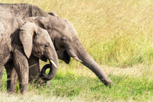 African Elephants Grazing On The Lush Grass Of The Masai Mara, Kenya