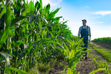 Caucasian Calm Male Maize Grower In Overalls Walks Along Corn Field With Tablet Pc In His Hands